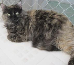 Nakoma Domestic Long Hair Cat Tucson Az I Love Cats Cats