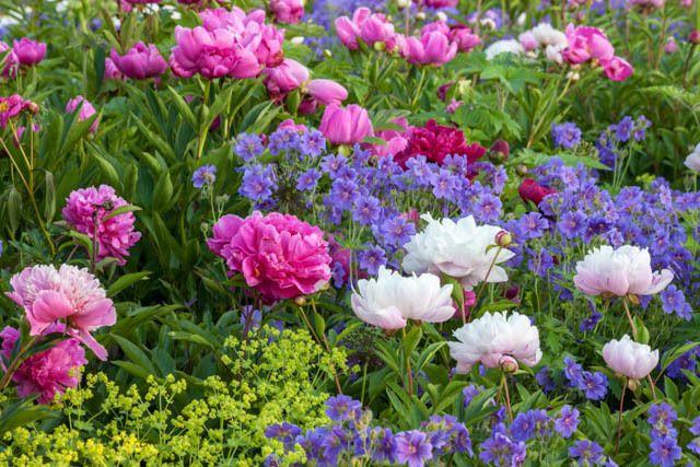 Spring combination ideas plant combinations flowerbeds for Perennial plant combination ideas