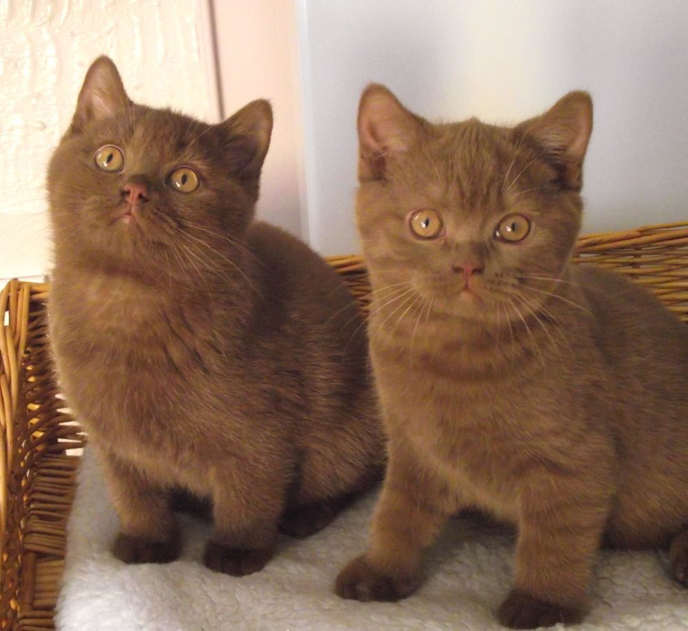 332 best British shorthair cats cinnamon images on Pinterest