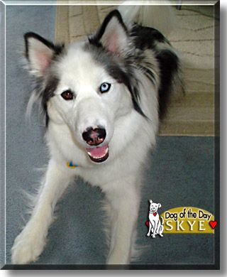 Border Collie Husky With Images Cute Dogs Husky Puppy I Love
