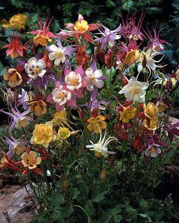 Perennials breeders seeds uk favorites food coffee garden perennials breeders seeds mightylinksfo