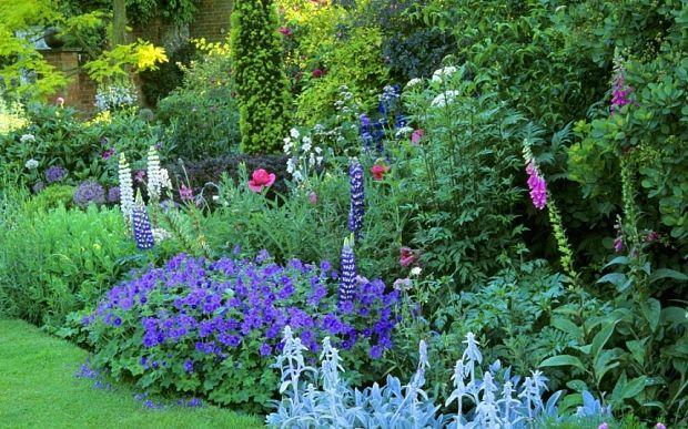 Foxgloves in garden