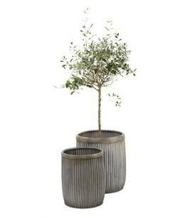 Mooie pot in combinatie met olijfboom !