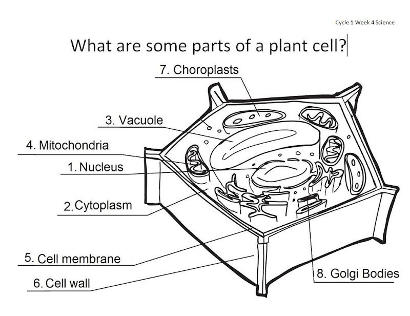 Cell Parts Diagrams | Worksheets, Plants and Plant cell
