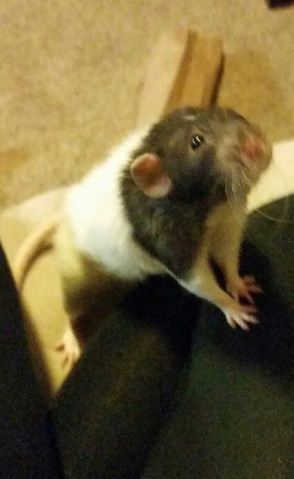 Pet Rat Love King Willow With Images Pet Rats Pets Drawings