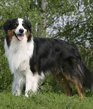 Australian Shepherd Price Temperament Life Span Australian Shepherd Dogs Dog Breeds Medium Black Dogs Breeds