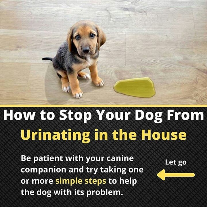 rain your Dog to stop urinating in the house  #doglife #dogtrainer #dogwalking