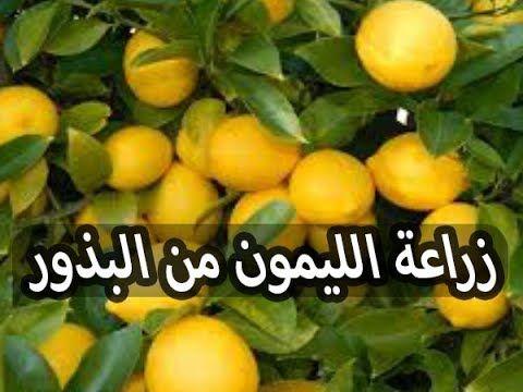 طريقة زراعة بذور الليمون من ثمرة ليمون عادية موجودة بالثلاجة Youtube Vaxter Citron