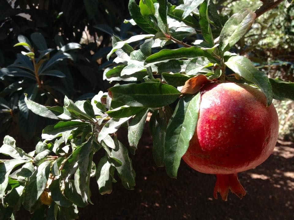A Delightful Pomegranate Tree At Tika Office In Amman