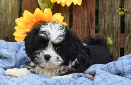 Callie Malshi Puppy For Sale In Dundee Oh Buckeye Puppies Puppies For Sale Puppies Shih Tzu Puppy