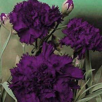 Dianthus Carnation Carnation Plants Plant Sale Carnations