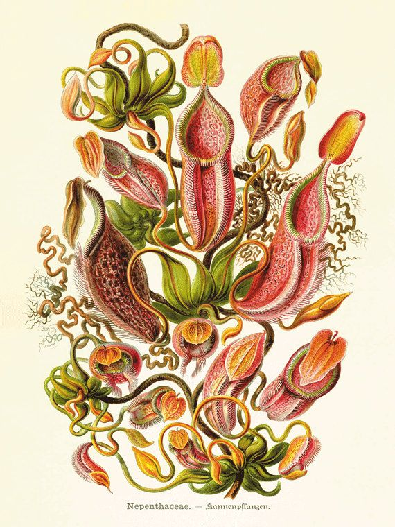 A Vintage Ernst Haeckel Fantasy Sea Life Art Print.This gorgeous illustration is from a series of hand colored lithographs. It comes from the