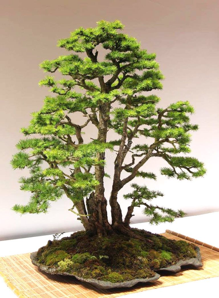 Black Scissors Bonsai Bonsai Bark Bonsai Forest Bonsai Tree Types Indoor Bonsai Tree