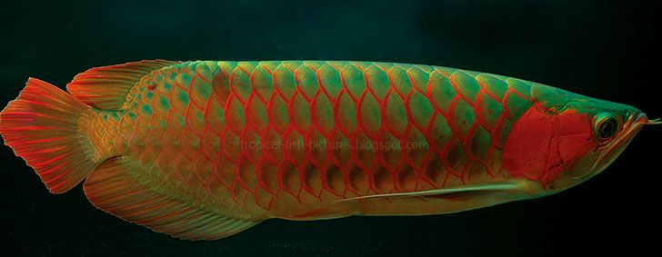 Asian red arowanas beautiful arowanas pinterest for Rare freshwater aquarium fish