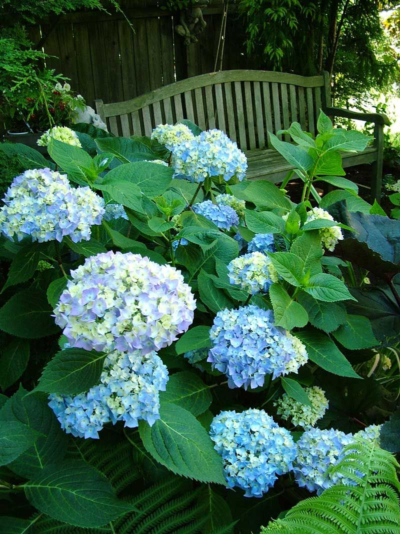 Hortensia Endless Summer Kopen Endless Summer Hydrangea And Lady Fern Hydrangea 2 Pinterest