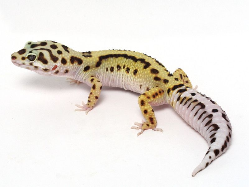 pin tillagd av linda messina p gecko bits pinterest. Black Bedroom Furniture Sets. Home Design Ideas