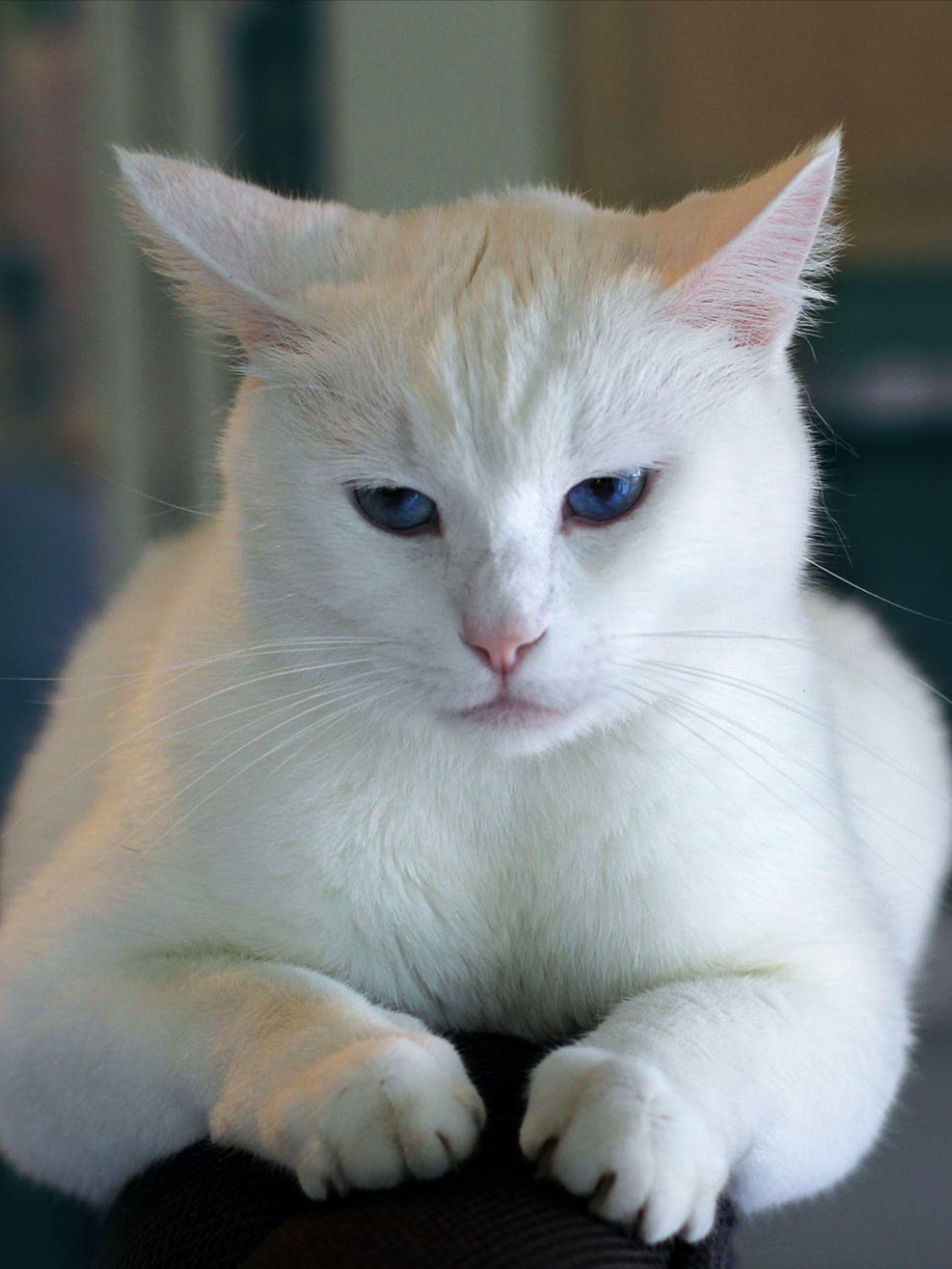 Simply Beautiful White Cat in 2020 Cat care, Cat having