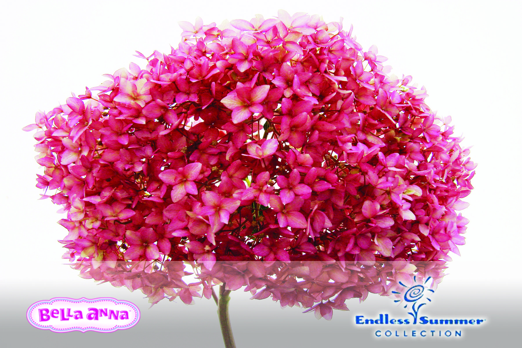 This hydrangea is a color breakthrough for Hydrangea arborescens and ...