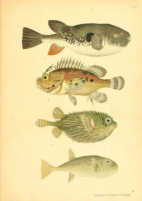 Atlas des poissons vénéneux  S.-Peterburg, Tipografïia V.S. Balasheva, 1886.