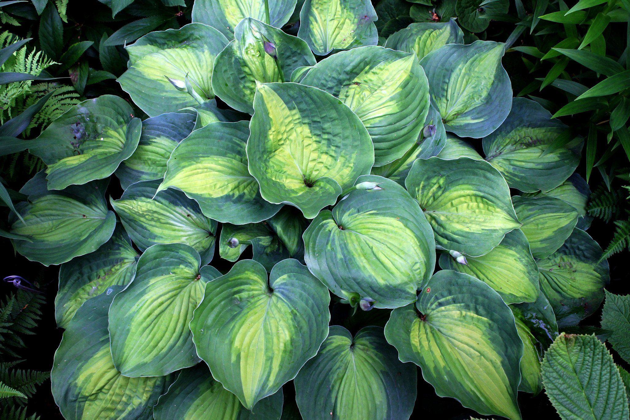 Hosta Beyond Glory Pp 28784 Plants For Garden Hosta Plants