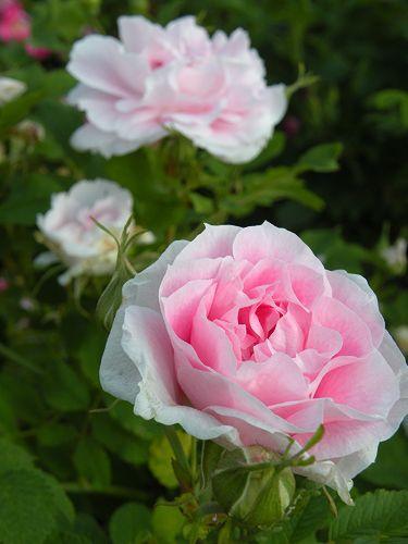 Martin Frobisher  Martin Frobisher (Мартин Фробишер) - бледно розовая . 450р Высота: 1,5-2 м Цветение: все лето до замаразков Выносливость: 3 из 4 Цветок: махровый Зимостойкость: -40'с Аромат: 2 из 4 Очень декоративная парковая роза рогоза, побеги красновато-коричневые, в верхней части без шипов, листья более гладкие, чем у других ругоз, цветение обильное.