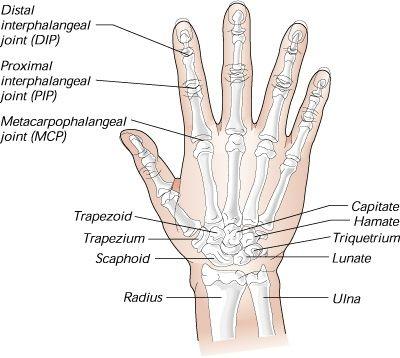 Hand Bone Educational Pinterest Hand Bone