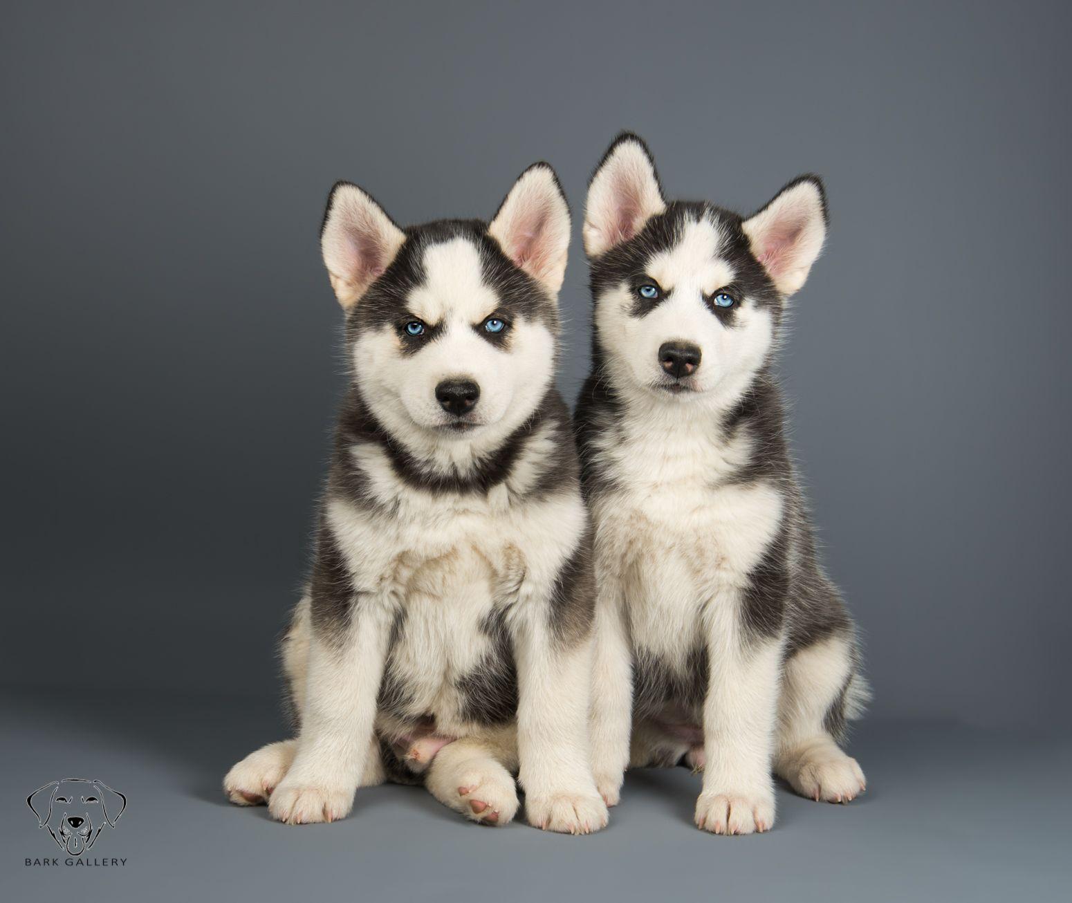 Husky Puppies Bark Gallery Session Las Vegas Photography Husky