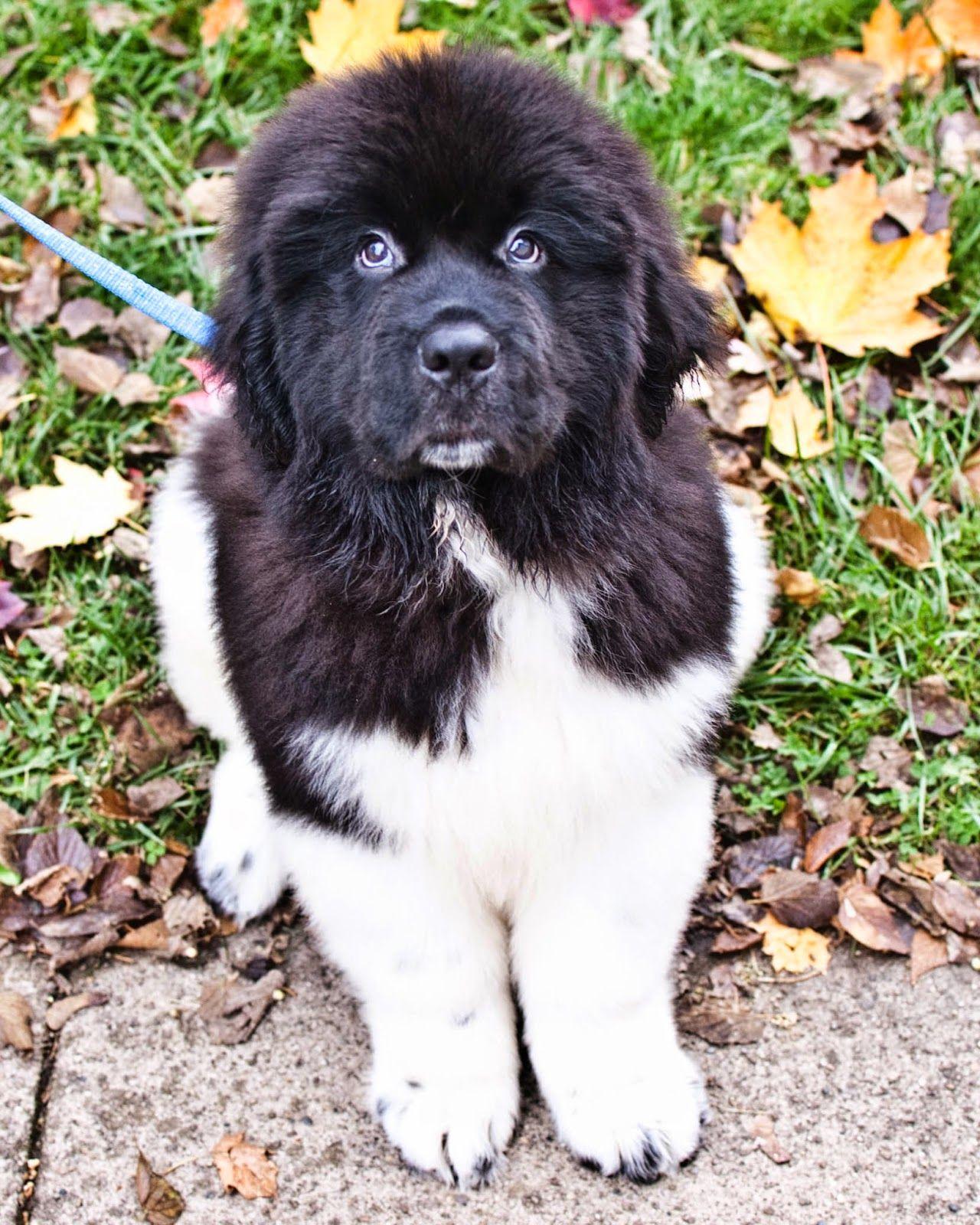 Wilson Duke Of Lizards Family Dogs Breeds Newfoundland Dog