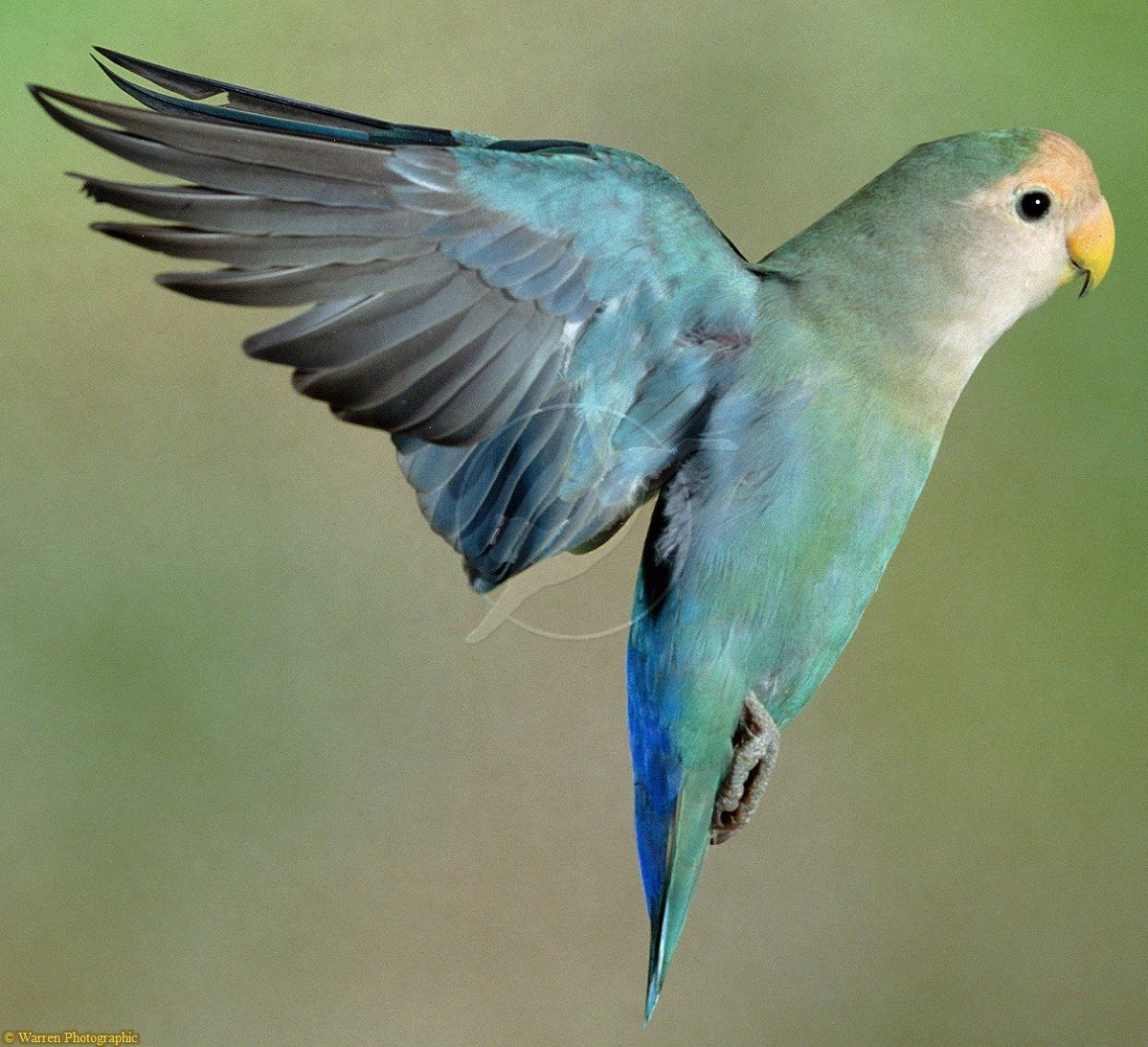 Peach Faced Love Bird In Flight Photo Bird Photo Beautiful Birds Pet Birds
