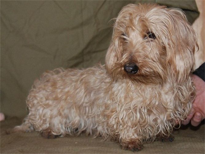 Windever Kennel Wire Haired Dachshunds Wire Haired Dachshund