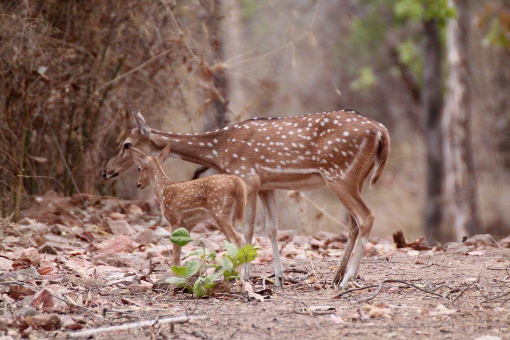 36+ Chital deer information