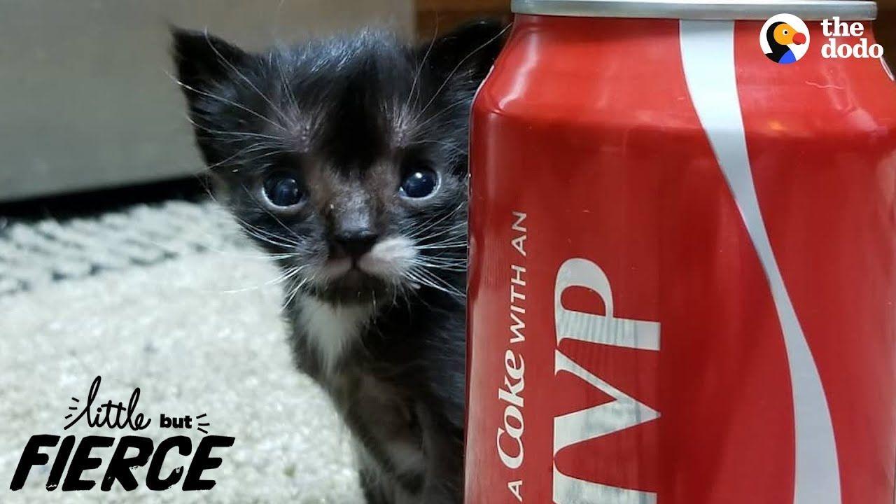 Littlest Kitten Ever Grows Up To Be A Mini Cat The Dodo Little But Fierce Newborn Kittens