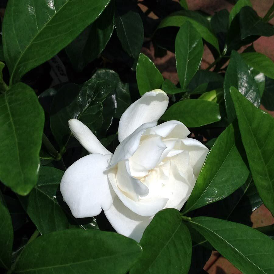 Growing Gardenias Indoors In 2020 Growing Gardenias Gardenia Plant Gardenia Indoor