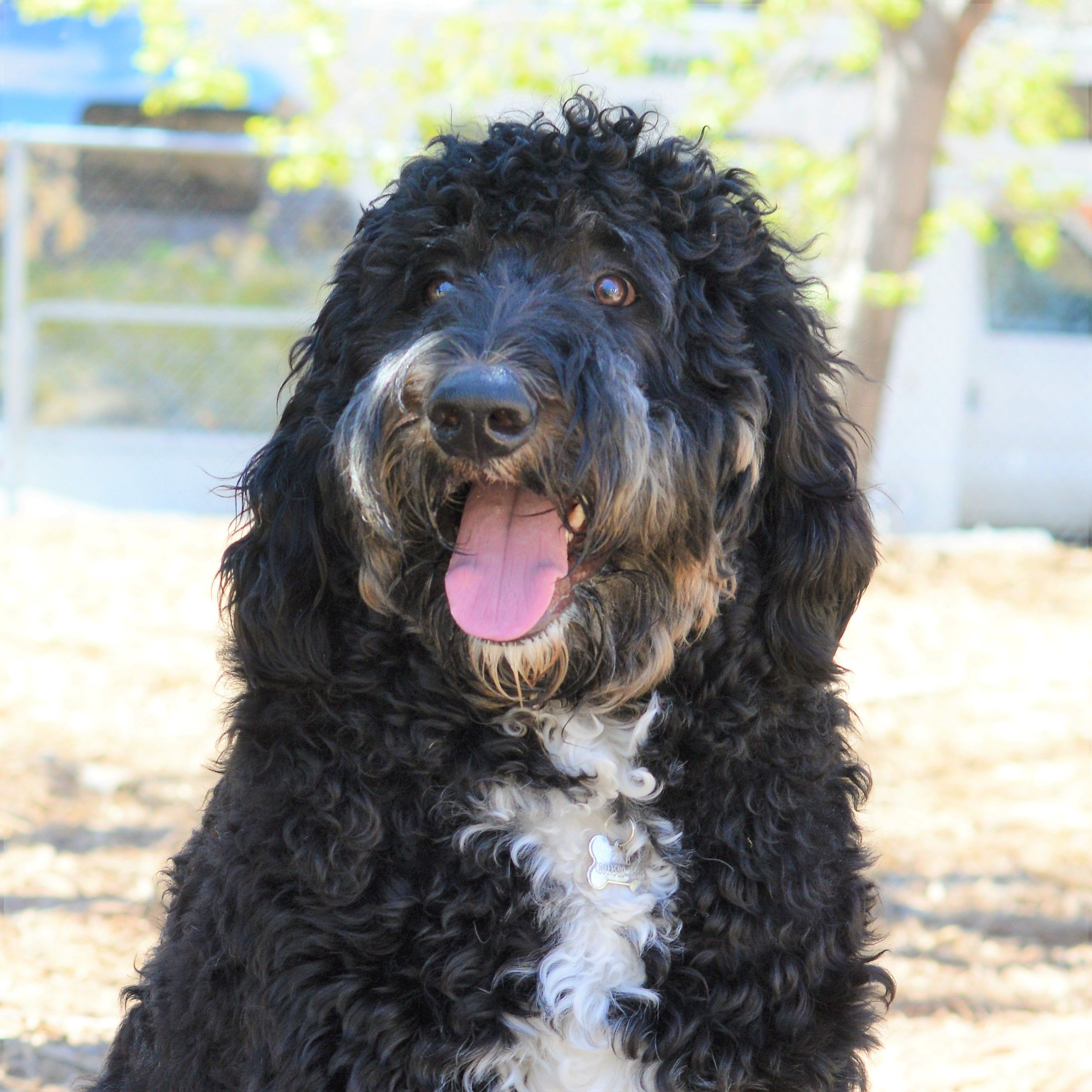 Zeke The 9 Month Old Bernedoodle 9 Month Olds 9th Month
