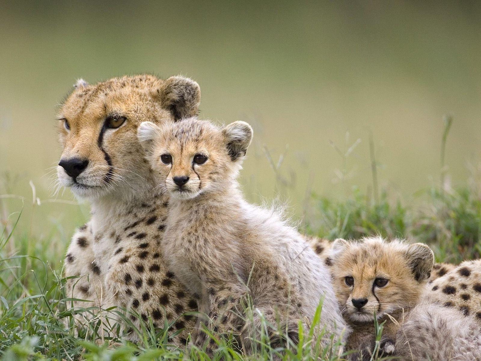 Cleaning Animals Baby Cheetahs Cheetah Wallpaper