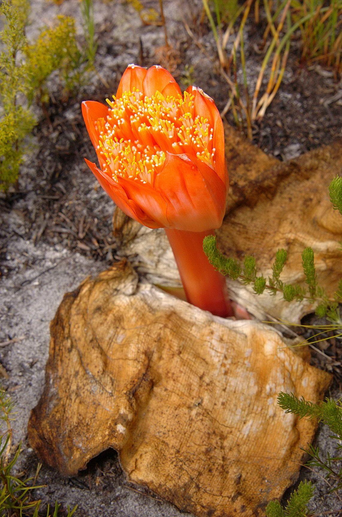 Sanginea coxineus common name April Fool flowers