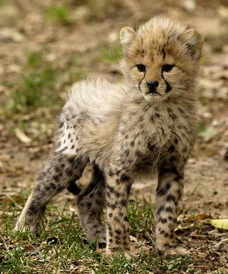 The most beautiful baby cheetah.
