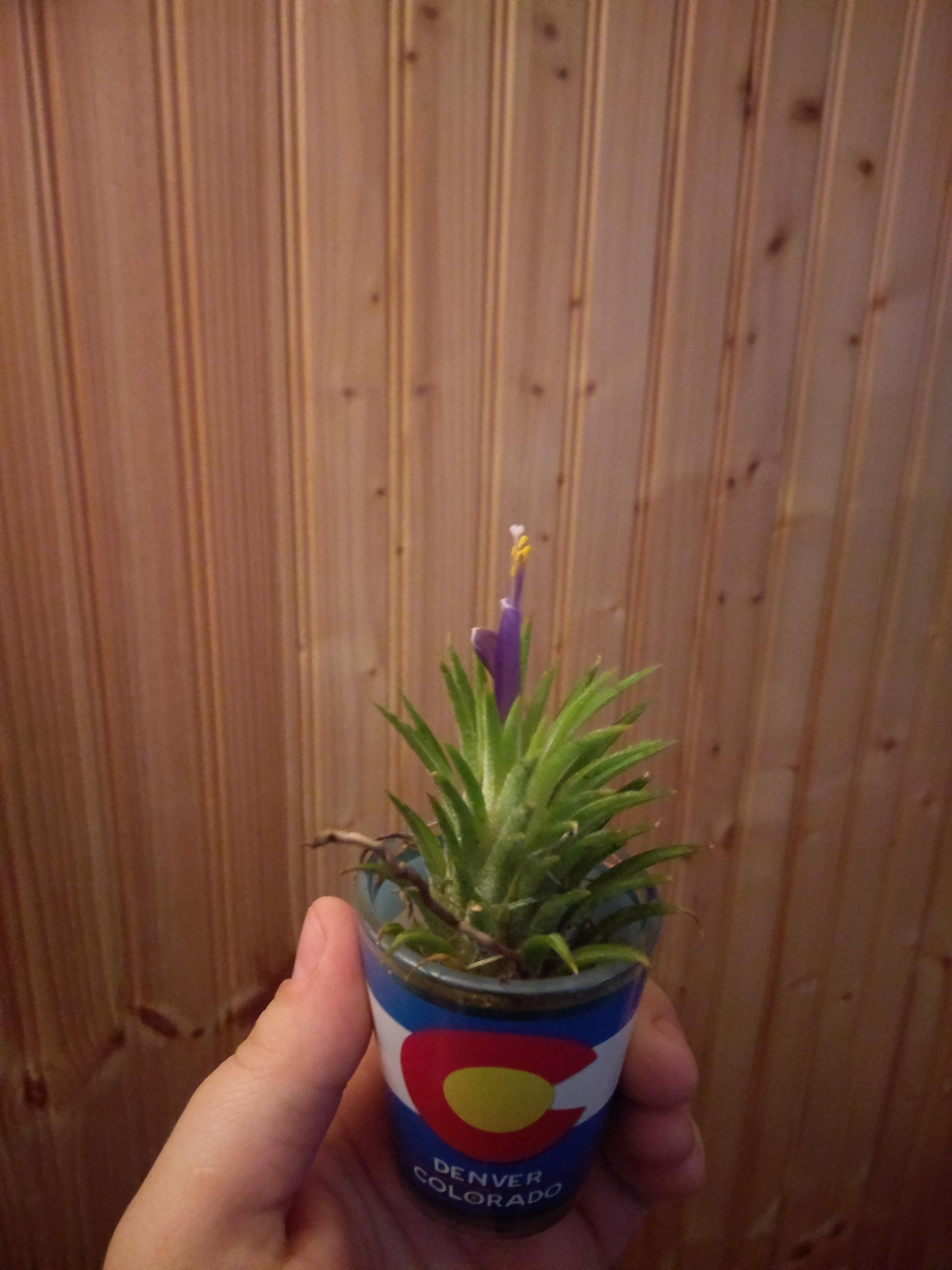 My air plant bloomed! #gardening #garden #DIY #home # ...