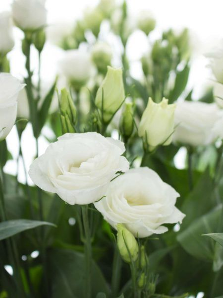 Lisianthus Eustoma Rosita White Weiss Flowers Pinterest
