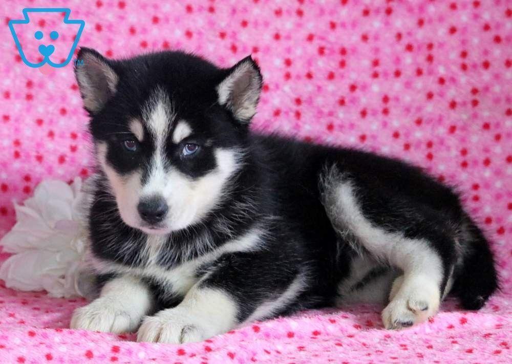Blossom Siberian Husky Puppy For Sale Keystone Puppies Siberianhusky Keystonepuppies Husky Puppies For Sale Baby Animals Funny Husky Puppy