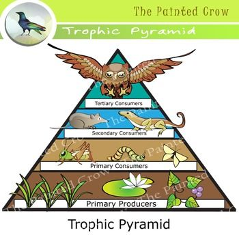 Free Science Clip Art Trophic Pyramid Food Chain Color