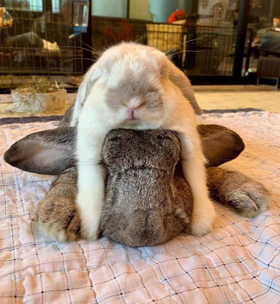 Sooooooooooo Tired! Bunny love - How do you make your indoor house rabbit love you? read our guides and tricks! Best treats for your bunny #rabbits #bunnies