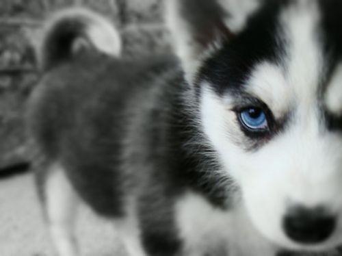 Pin By Katiamari Roman On Cutest Dog Cute Husky Puppies With