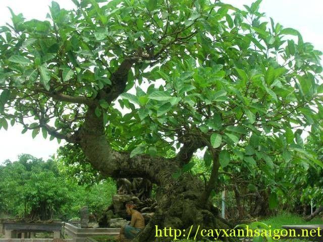 Cây Sung có tên khoa học là Ficus racemosa (tên đồng nghĩa là Ficus glomerata), thuộc họ Dâu tằm – Moraceae, là loại thân gỗ lớn