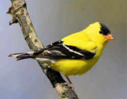 Iowa State Bird Eastern Goldfinch Aka Wild Canary Spirit Animal Totem Spirit Animal Animal Totems