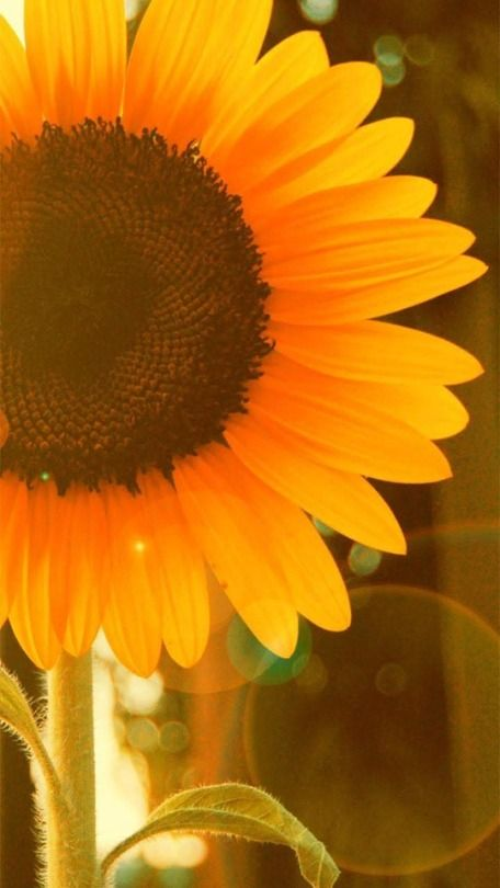 37 Tumblr Imagenes De Girasoles Girasoles Fondos De Girasoles