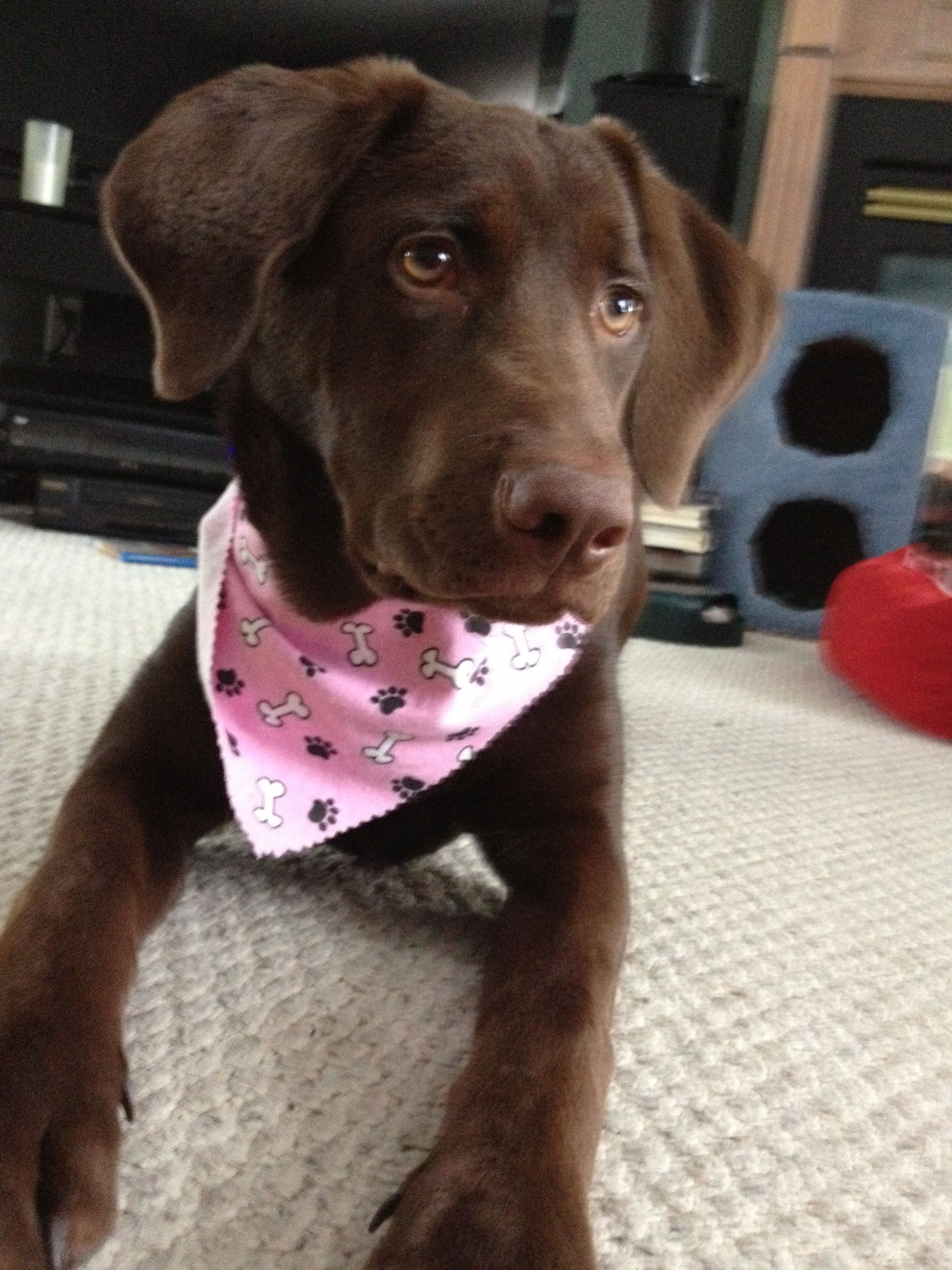 Chocolate Lab Golden Retriever Cute dogs, Golden