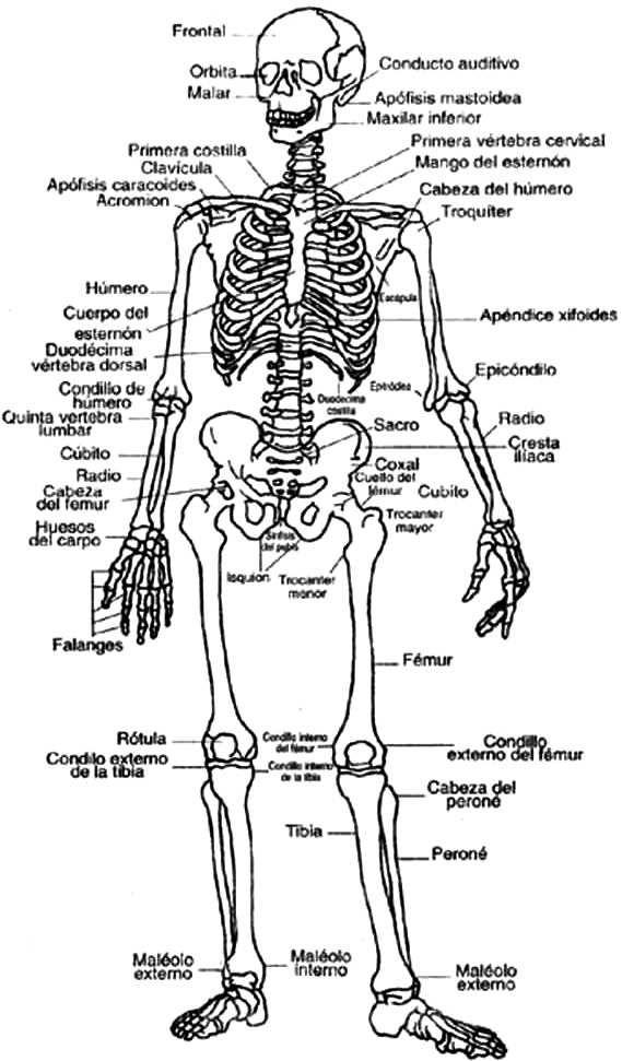 Sistema Oseo Para Colorear Indicando Sus Partes En Espanol Huesos Del Cuerpo Humano Imagenes Del Esqueleto Humano Huesos Del Cuerpo