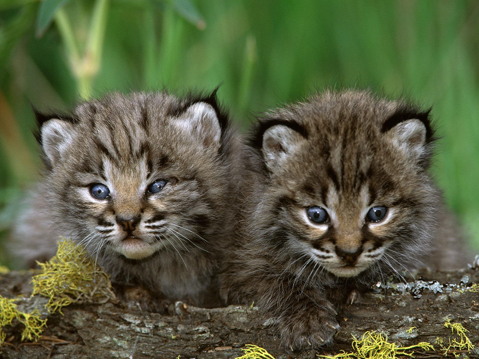 kitten pictures   Bobcat Kittens - Lynx cat Photo ...