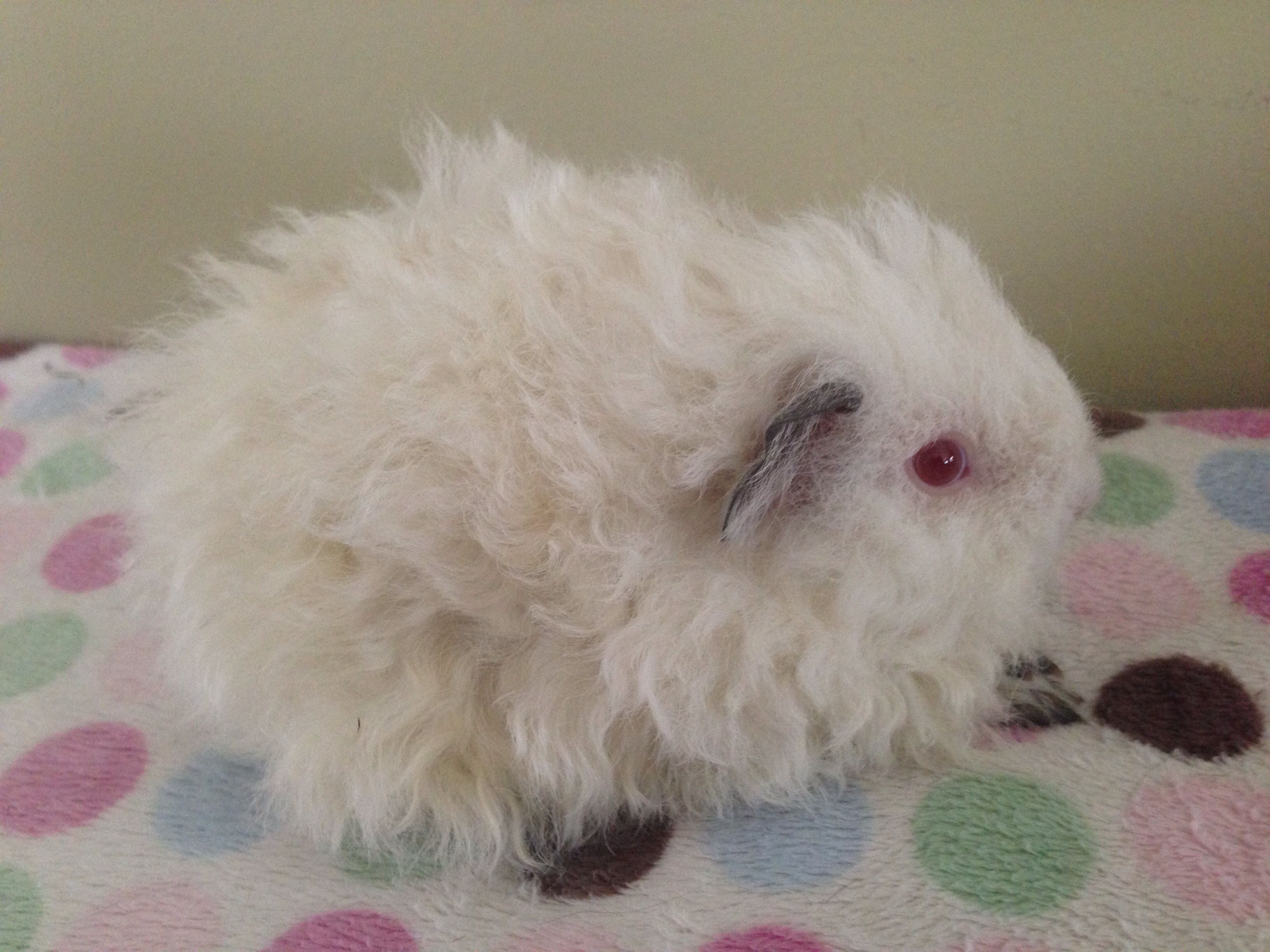 Another beautiful baby Texel arrived at the Caviary last wheek from Stylish Cavies!